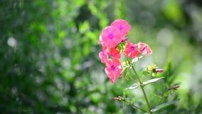 Mooi helder roze variëteitsfloxclose-up stock videobeelden