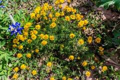 Mooi Helder varkenshaar-Blad Dyssodia Wildflowers op een Gebied o stock afbeeldingen