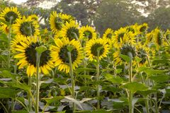 Mooi helder zonnebloemgebied Stock Foto's