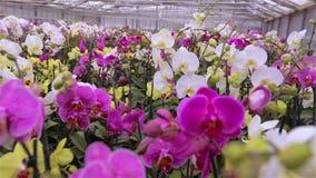 Mooi het bloeien orchideeclose-up stock footage