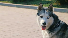 Mooi Husky Dog Face Closeup met Heterochromy - Ogen met Verschillende Kleur stock video