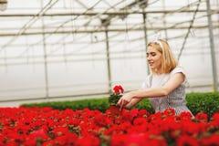 Mooi jong glimlachend meisje, arbeider met bloemen in serre Het conceptenwerk in de serre, bloemen De ruimte van het exemplaar stock foto's