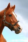 Mooi jong paardportret tegen blauwe hemel stock afbeeldingen