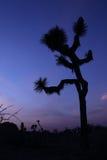 Mooi Joshua Tree Silhouette bij Schemer Stock Fotografie