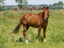 Mooi Kastanjepaard Stock Afbeeldingen