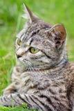 Mooi Kat of Katje, die in Gras liggen Stock Afbeelding