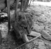 Mooi katje in zwart-wit Stock Afbeelding