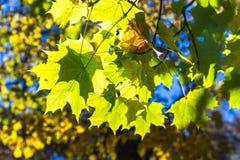 Mooi kleurrijk de herfstbeeld, sunlights brekend door de esdoornbladeren royalty-vrije stock afbeelding