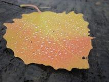 Mooi kleurrijk enig die de herfstblad met regendruppels wordt behandeld Royalty-vrije Stock Fotografie