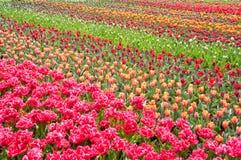 Kleurrijk tulpengebied stock foto's