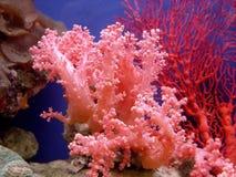 Mooi koraal royalty-vrije stock fotografie