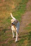 Labrador die een grote stok halen Stock Foto