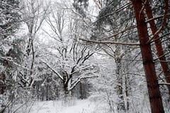 Mooi landschap met eiken en snow-covered weg in de winterbos bij donkere de winterdag Stock Afbeeldingen