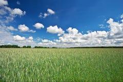 Mooi landschap met gebied van rogge en blauwe hemel Royalty-vrije Stock Afbeeldingen