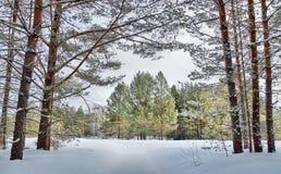Mooi landschap met het bos van de de winterpijnboom in koude dag Stock Fotografie