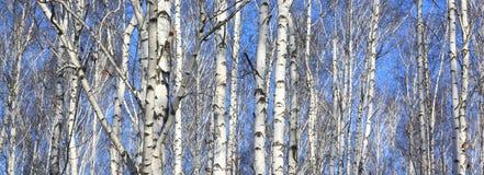 Mooi landschap met witte berken Stock Afbeeldingen
