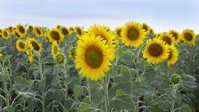 Mooi landschap met zonnebloemen in de wind bij zonnebloemgebied stock video