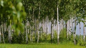 Mooi landschap Russische bos Witte berkboomstammen stock video