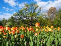 Mooi landschap van gebied van gele en rode tulpen en grote groene boom op de blauwe hemelachtergrond royalty-vrije stock foto
