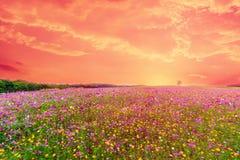 Mooi landschapsbeeld met het gebied van de kosmosbloem royalty-vrije stock afbeelding