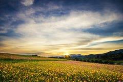 Mooi landschapsbeeld met het gebied van de kosmosbloem bij zonsondergang stock fotografie
