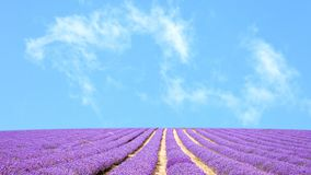 Mooi lavendelgebied in de zomer Stock Afbeelding