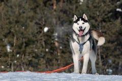 Mooi leuk schor het glimlachen portret met bos in de winter stock fotografie