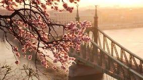 Mooi Liberty Bridge bij zonsopgang met kersenbloesem in is de Lente van Boedapest aan Boedapest aangekomen stock footage