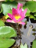 Mooi Lotus Stock Afbeelding