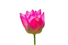 Mooi Lotus royalty-vrije stock afbeeldingen