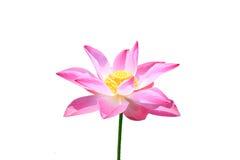 Mooi Lotus royalty-vrije stock foto's