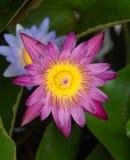 Mooi Lotus Stock Foto