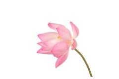Mooi Lotus Royalty-vrije Stock Fotografie