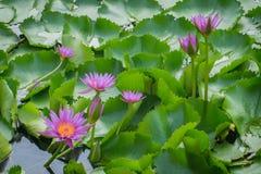 Mooi Lotus, de zomer, roze, aard, schoonheid, kleur, bloem, tropische phalaenopsis, groene bloemen, decoratie, orquidea, natur Stock Afbeeldingen