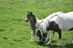 Mooi Miniatuurpaardmerrie en Veulen op een Gebied stock fotografie