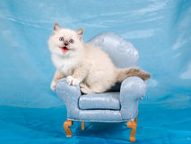 Mooi mooi katje Ragdoll op stoel Royalty-vrije Stock Afbeeldingen