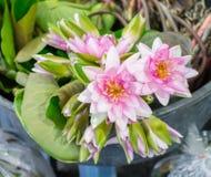 Mooi multi wit-roze waterlily of lotusbloembloem Stock Afbeeldingen