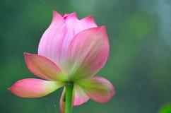 Mooi na lotusbloem Stock Afbeelding