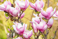 Mooi nam magnoliabloesem in de lente toe Stock Afbeelding