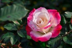 Mooi nam met witte bloemen, kant toe van roze bladeren in de tuin stock foto