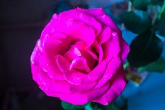 Mooi nam, roze op dark - blauw - zwarte achtergrond toe stock fotografie
