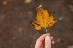Mooi oranje de herfstblad, in de hand van het meisje royalty-vrije stock afbeelding