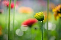 Mooi oranje, rood en geel gerberamadeliefje in de tuin royalty-vrije stock afbeeldingen