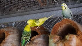 Mooi Paar die van Papegaaien elkaar kussen stock footage