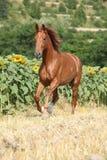 Mooi paard die voor zonnebloemen lopen royalty-vrije stock afbeelding