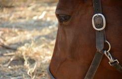 Mooi paard op een boerderij, hoofdclose-up Stock Foto