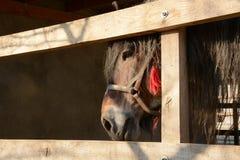 Mooi paard op een boerderij, hoofdclose-up Stock Afbeelding