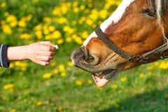 Mooi paard op een weide Royalty-vrije Stock Fotografie
