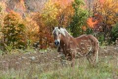 Mooi paard op Gebied tijdens Dalingsgebladerte Royalty-vrije Stock Foto's