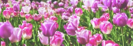 Mooi panorama van partij van lilac en violette tulpen met Stock Afbeeldingen